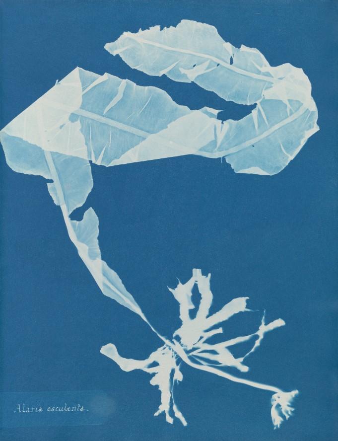 Anna Atkins, Alaria esculenta